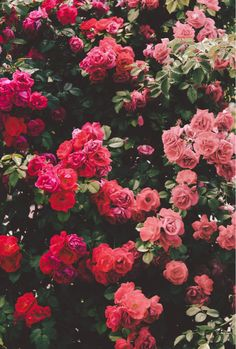 Pink Roses Phone Wallpaper