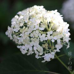 アナベル Hydrangea arborescens 'Anaabelle'