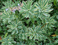daphne shrub pictures   Erica carnea 'December Red' and Erica carnea 'Springwood White'