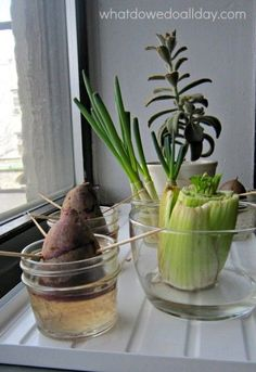 Indoor Vegetable Gardening Turn garbage into food with this fun indoor gardening activity for kids - Explore plant science for kids with this fun indoor gardening activity that will get them regrowing vegetables scraps and turning garbage into food!