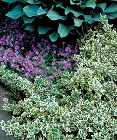 Emerald Gaiety Wintercreeper (Euonymus fortunei 'Emerald Gaiety') - 3' x 5' ground cover with variegated green and white leaves (white edges turns pink in the winter), full to part sun, slow grower
