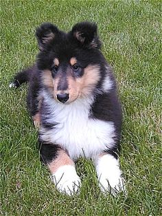 Collie pup looks just like my Guinney pig when he was a baby!