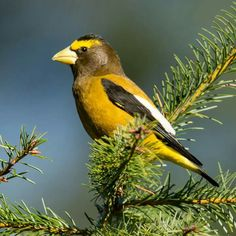 Have you ever seen an Evening Grosbeak. They can be seen this time of year coming to your feeders for the seeds, which they crack open with their powerful beaks. Although early birders gave it its name because they observed it singing in the evening, it actually calls throughout the day. The name, however, stuck. The one in this photo by Mick Thompson was coming to a back yard feeder in Redmond last week.
