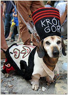 March of Dachshunds, Krakow, Poland. (I love his white face) Weenie Dogs, Doggies, Krakow Poland, Dog Rules, Dachshund Love, Big Dogs, Puppy Love, Dog Lovers, Dog Cat