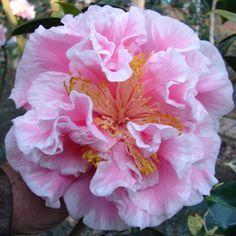 Tomorrow's Dawn (Camellia Japonica)