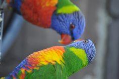 The Wild Parrots of Sydney: