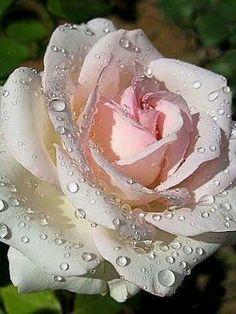 Rose is a rose. Need not be rose. Amazing Flowers, Beautiful Roses, My Flower, Beautiful Flowers, Flowers Nature, Coming Up Roses, Hybrid Tea Roses, Love Rose, Color Rosa