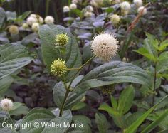 Buttonbush. My favourite flower these days. I hope mine bloom this year after one full year of adapting to the soil of my yard.