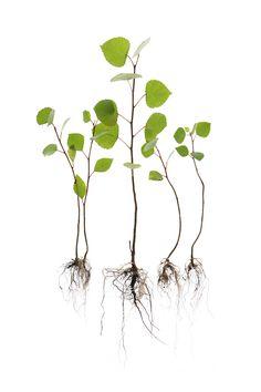 poplar saplings (mary jo hoffman)