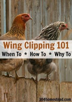 Wing Clipping 101 - When to do it. The 104 Homestead chickens poultry wings Raising Backyard Chickens, Keeping Chickens, Backyard Farming, Pet Chickens, How To Raise Chickens, Urban Chickens, Backyard Poultry, Backyard Chicken Coops, Chicken Life
