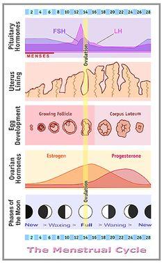 The Menstrual Cycle | Women to Women