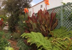 Tropicanna® canna ads an exotic touch to any garden | Flickr - Photo Sharing!
