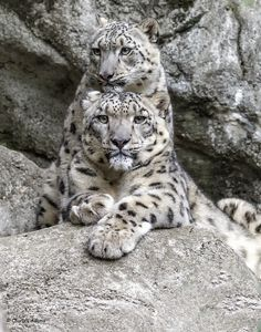 Snow Leopards -Charles Adams Pretty Cats, Beautiful Cats, Animals Beautiful, Jaguar, Serval, Big Cats, Cool Cats, Snow Leopard Tattoo, Exotic Cats