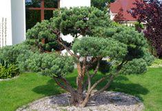 Japanese - Mugo Pine