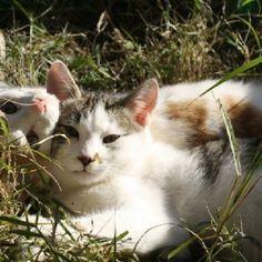 Gattini massetani