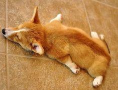 Sleeping Corgi variant! Animals And Pets, Baby Animals, Funny Animals, Cute Animals, Tired Animals, Cute Puppies, Cute Dogs, Dogs And Puppies, Funny Dogs