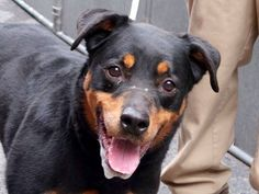 TO BE DESTROYED - 04/04/15 Manhattan Center -P  My name is MAYA aka MYA. My Animal ID # is A1031474. I am a spayed female black and brown rottweiler. The shelter thinks I am about 9 YEARS old. For more information on adopting from the NYC AC&C, or to  find a rescue to assist, please read the following: http://urgentpetsondeathrow.org/must-read/