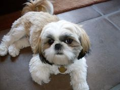 Oh yes, a sweet shih tzu! No home is complete without one.