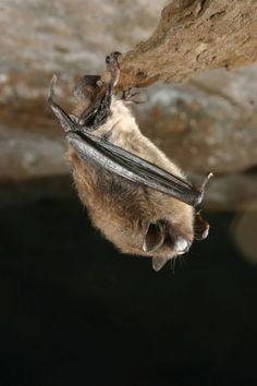Bats on the Brink: White-nose syndrome hits home