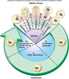 Cell Cycle Phases | This phase is then subdivided into 3 other phases: