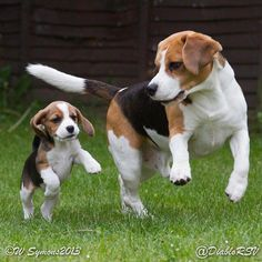 The Beagle is a breed of hunting dog that a popular human .-Der Beagle ist eine Jagdhunderasse, die ein beliebter menschlicher Begleiter fü… The Beagle is a hunting dog breed that is a popular human companion for …, popular dog breed - Cute Beagles, Cute Puppies, Dogs And Puppies, Cute Dogs, Begal Puppies, Toy Dogs, Doggies, Pocket Beagle, Beagle Puppy