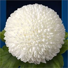 Chrysanthemum Blooms Ping Pong are a white, disbudded, single headed cut flower variety. tall & wholesaled in 10 stem wraps. Cut Flowers, Flower Petals, Paper Flowers, Beautiful Gardens, Beautiful Flowers, White Chrysanthemum, Florist Supplies, Flower Farm, Flower Centerpieces