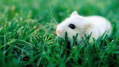 Beyaz Fare #wallpaper #çimen #fare #grass #mouse