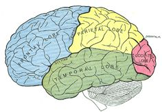 Ooh ooh I know these!  Frontal Lobe: responsible for short term memory...planning etc.  Temporal Lobe: Auditory perception.  Parietal Lobe: Spacial sense & navigation (I think there is something wrong with mine! I have no sense of direction or spacial recognition!!! Lol)  Occipital lobe: Vision center of brain!   Thank you Dr. McEwan precisely why your neuroscience course was one of my faves! See you Thursday for Sports Psychology!! LOL