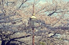 """Hanami"": The Art of Cherry Blossom Viewing"