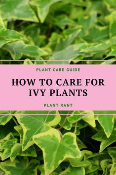 How To Care For Ivy Plants