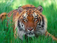 Fundo de Ecrã de um tigre
