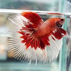 Live Betta Fish Male Fancy White Copper Red Halfmoon HM #S14