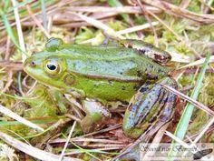 Pool Frog (Pelophylax lessonae) - Gelderland, Netherlands