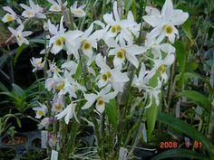 Dendrobium Heterocarpum   Dendrobium heterocarpum ¥3,150~