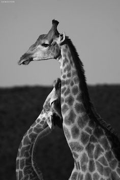 Giraffe Love Best Picture For Mammals For Your Taste You are looking for something, and it is go Nature Animals, Animals And Pets, Wild Animals, Jungle Animals, Beautiful Creatures, Animals Beautiful, Pretty Animals, Cute Baby Animals, Funny Animals