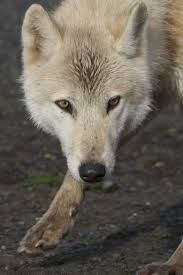 Image result for tan colored wolf