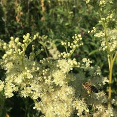 Our honey bees enjoying the #meadowsweet flowering today in profusion around the wildlife pond - bonus for them as its only 30 paces from their hives! I wonder if the active ingredient from which aspirin was originally synthesised has any effect!!