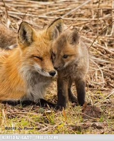 Baby fox with mom