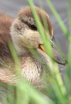 birdsonly:  Mallard Duckling ~ Stockenten-Küken ~ Anas platyrhynchos Me watching you or you watching me? ;-)  2014 © Jesse Alveo