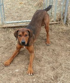 Adoptable Redbone Coonhounds On Pinterest Redbone Coonhound Animal Shelter And 2 Year Olds