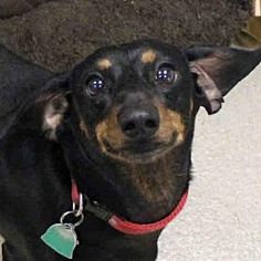 Fort Wayne, Indiana - Dachshund. Meet BUDDY, a for adoption. https://www.adoptapet.com/pet/20011661-fort-wayne-indiana-dachshund