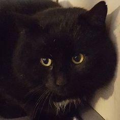 Sort hannkatt funnet i Nesbyen Buskerud. (link: http://dyrebar.no/71773/) dyrebar.no/71773/ #katt #funnet  Sort hannkatt funnet i Nes  09.01.2018 12:06