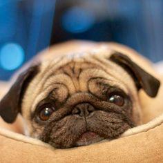 adorable pug.