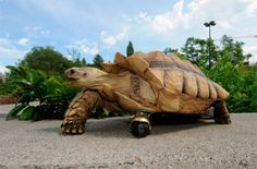 Amputee turtle has wheel in place of missing leg.