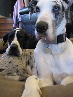 The perfect pillow #Great #Dane  I have two Great Danes (blue and blue merle) and this is how they are ALWAYS