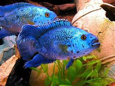 Can not wait to get a couple of these AWESOME Electric Blue Jack Dempsey(Archocentrus octofaciatus, var. blue).