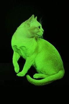Size and Weight of Burmese Cats with picture. click the picture to read