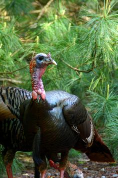 Turkey Trivia - did you know ... only tom turkeys gobble?
