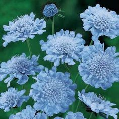 Butterfly Blue Scabiosa: Dwarf plant with a neat growth habit, trouble-free, ideal for edging. Attracts butterflies and this heavy bloomer is excellent as cut flower...