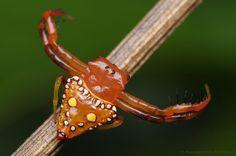 Triangular Spider - Arkys lancearius by Rundstedt B. Rovillos, via Flickr